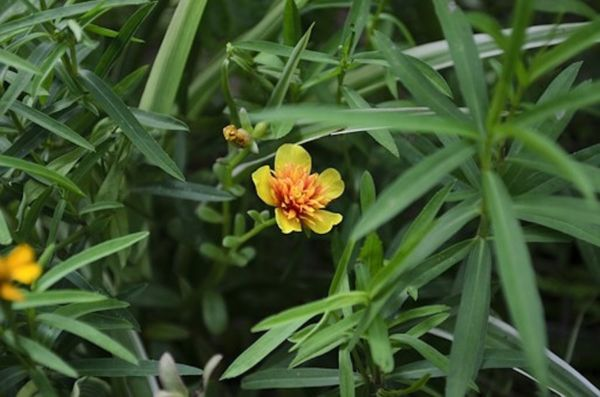 Estragon mit Blüte