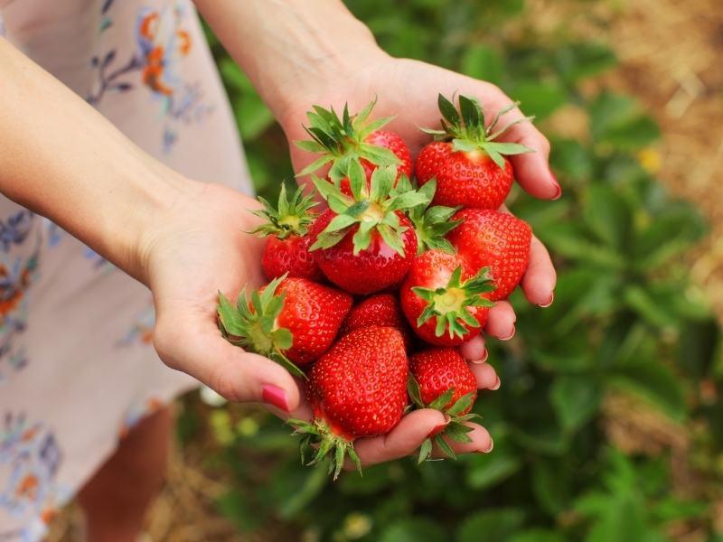 selbstpflücke-erdbeeren